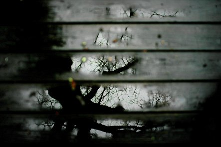 Oak Tree Reflected in Rainy Deck Boards